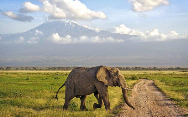 elephant - amboseli national park