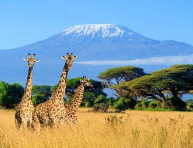 giraffe_amboseli