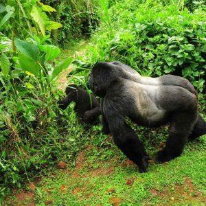 Bwindi Impenetrable National Park Gorillas